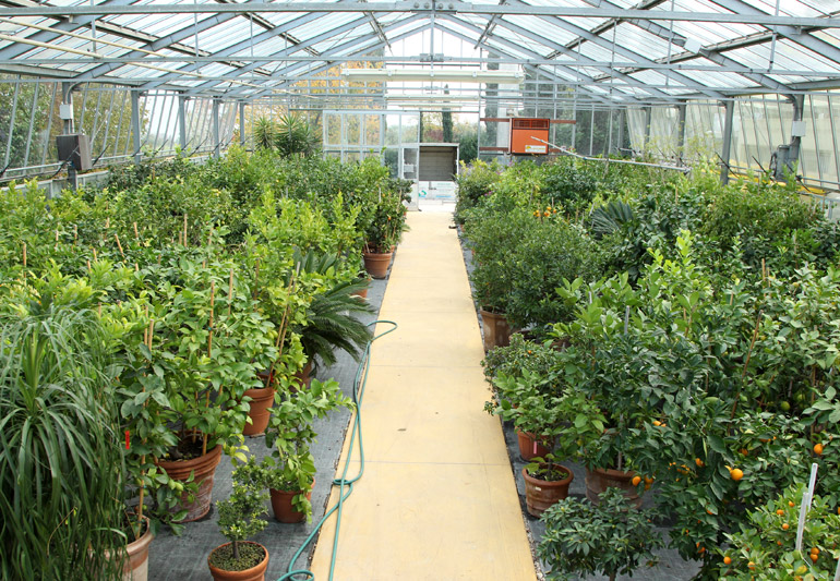 Vivaio a brescia variet di agrumi limoni e fiori for Piante da vivaio
